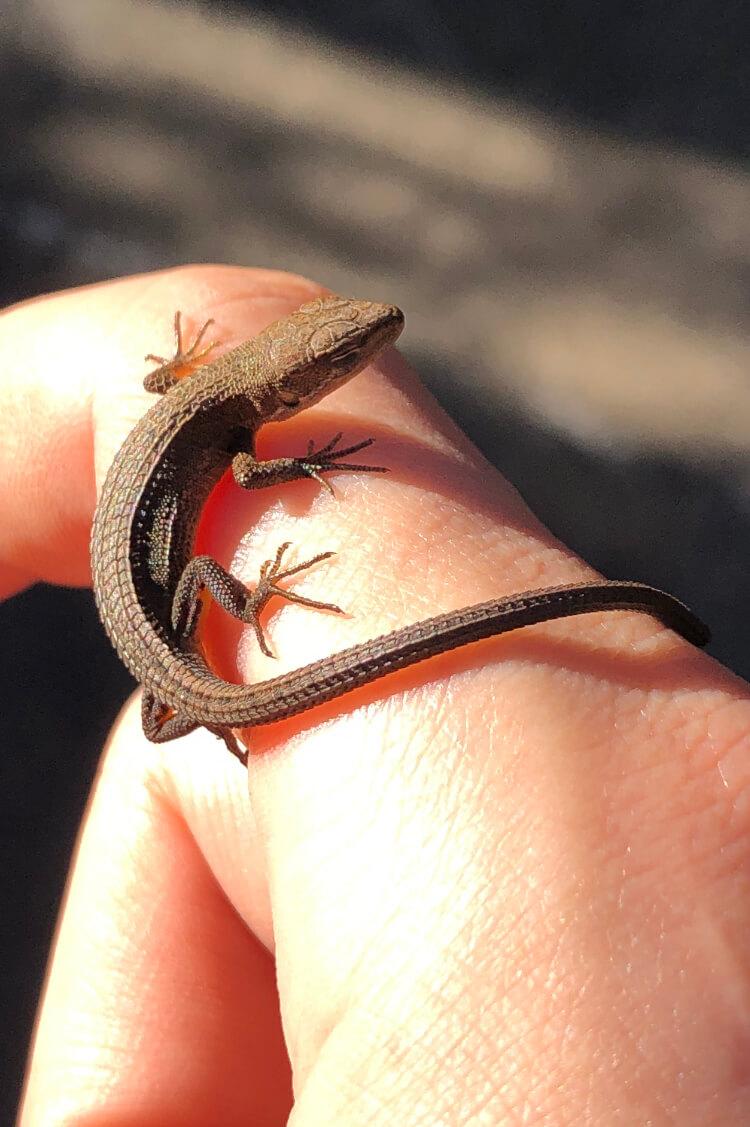 東京の空き地にいたカナヘビ